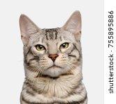 Portrait Of Snow Bengal Cat ...