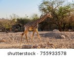 giraffe walking in a zoo | Shutterstock . vector #755933578