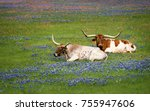 Texas Longhorn Cattle Grazing...
