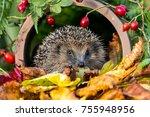 european   wild hedgehog in... | Shutterstock . vector #755948956