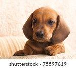 Stock photo dachshund puppy 75597619