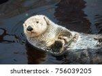 Kalan Sea Otter  Enhydra Lutris ...
