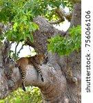 Leopard On A Tree. The Sri...