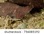 Small photo of Spiny Waspfish (Indian Ocean Waspish) - Ablabys macracanthus