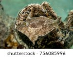 Small photo of Seagrass Filefish gray coloring - Acreichthys tomentosus
