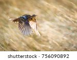 rosy throated longclaw in brown ... | Shutterstock . vector #756090892