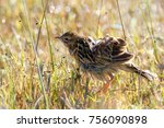 rosy throated longclaw in brown ... | Shutterstock . vector #756090898