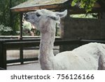 annoyed white llama in a cage... | Shutterstock . vector #756126166