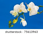 a branch of white phalaenopsis flowers on a blue background - stock photo