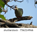 Small photo of African green pigeon.