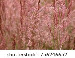 pink tinged ornamental grasses | Shutterstock . vector #756246652