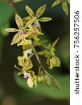 Epidendrum Stamfordianum. Wild...
