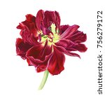 red tulip  watercolor painting | Shutterstock . vector #756279172