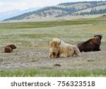 White Bison A Sacred Animals...