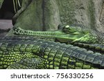 Small photo of Indian crocodilian 'gavial', rare species