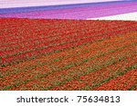 Tulipfields With Different...