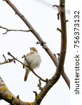 Small photo of Blyth's Reed Warbler (Acrocephalus dumetorum). male