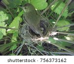 Small photo of Acrocephalus dumetorum. The nest of the Blyth's Reed Warbler in nature. Russia, the Ryazan region (Ryazanskaya oblast), the Pronsky District, Denisovo.