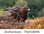 Small photo of Eagle rousing. An impressive golden eagle shakes itself out in a rouse.