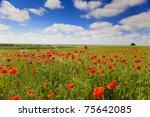 poppy flowers against the blue sky / flower meadow / Summer - stock photo