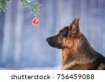 German Shepherd Dog Looking At...