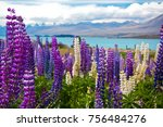 lupin field in nz | Shutterstock . vector #756484276
