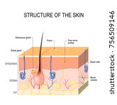structure of the skin. skin...