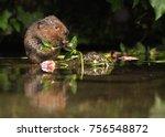 a beautiful water vole captured ... | Shutterstock . vector #756548872