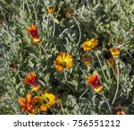 "Small photo of Massed planting of bright orange ""Aurora Daisy"", Arctotis are one of the hardiest flowering ground covers around with felted silvery foliage and long lasting blooms from winter ,spring to autumn."