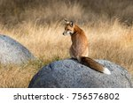 A Red Fox Resting On A Rock In...