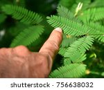 touching the sensitive leaf of... | Shutterstock . vector #756638032