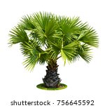 Small Or Young Sugar Palm...