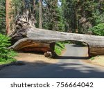 tunnel tree at the sequoia and...