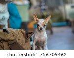 Chihuahua Dog Sitting Beside...