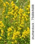 lady's bedstraw  galium verum  | Shutterstock . vector #756864688