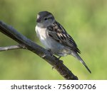 Small photo of Close up of Sind Sparrow