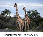 beautiful african giraffes | Shutterstock . vector #756927172