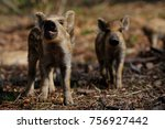 Wild Boar Piglets  In The...