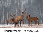 Red Deer Stag In Winter. Winte...