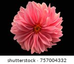Stock photo dahlia flower black background 757004332