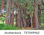 ficus macrophylla is a large... | Shutterstock . vector #757049962