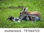 photo of a thomson's gazelle... | Shutterstock . vector #757064725
