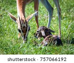 thomson's gazelle urging her... | Shutterstock . vector #757066192