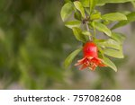 Pomegranate Flowers Green Leaves Nature - Fine Art prints