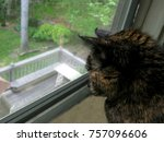 Calico Cat Staring Out Of The...