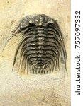 complete pyritised leonaspis ... | Shutterstock . vector #757097332