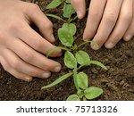 hands loosen young spinach... | Shutterstock . vector #75713326