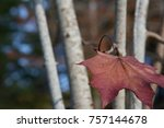 single maple leaf | Shutterstock . vector #757144678