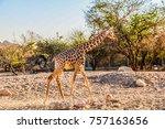 giraffe walking in a zoo | Shutterstock . vector #757163656