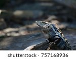 iguana on rock with striped... | Shutterstock . vector #757168936